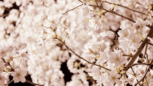cherry-blossom_01